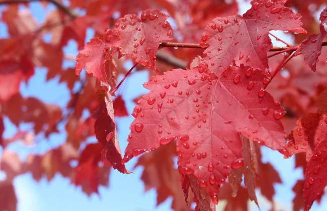 650-maple-tree-with-rain-drops