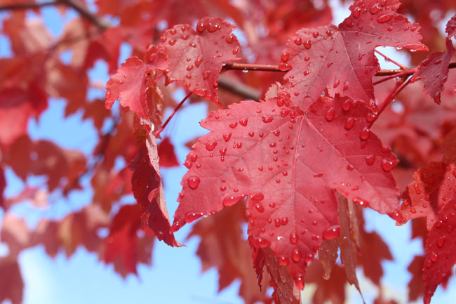 650-maple-tree-with-rain-drops