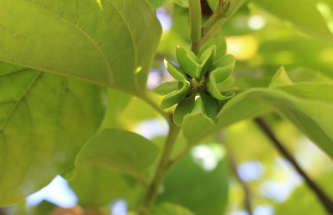 650 persimon green