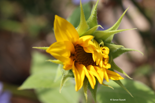 650 Sunflower bud open ©