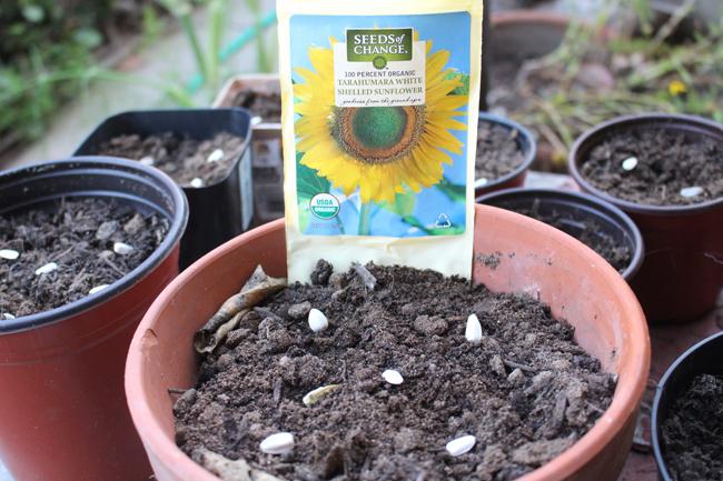 650 Sunflower seeds planting