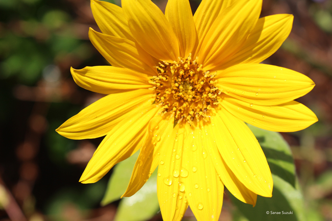 650 Sunflower with waterdrops ©