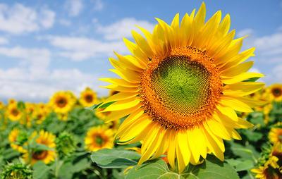 sunflowerfield-1000