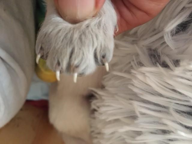 Puppy nail