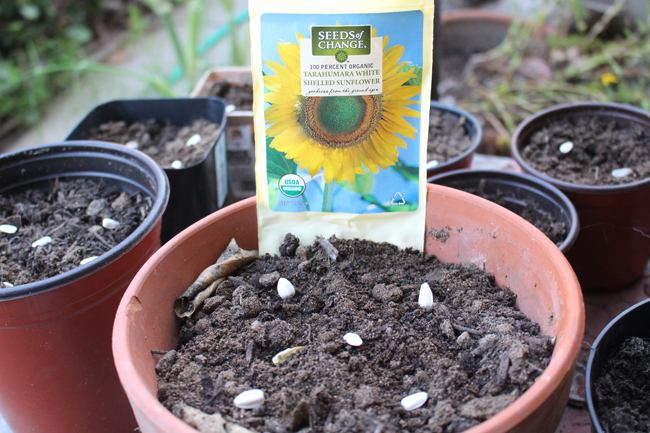 650 planting sunflower seeds