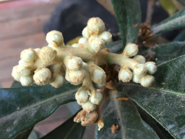 Loquat flower bud spread